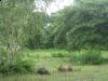 buffalo-isan-isaan-isarn-thailand