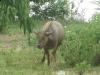 buffalo-isan-isaan-isarn-thailand1