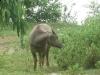 buffalo-isan-isaan-isarn-thailand2